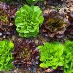 How Do I Grow Lettuce?