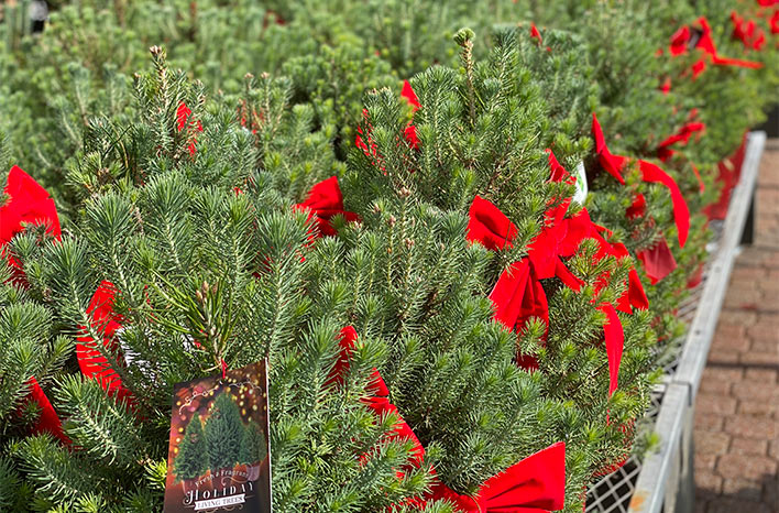 Christmas trees with red bows