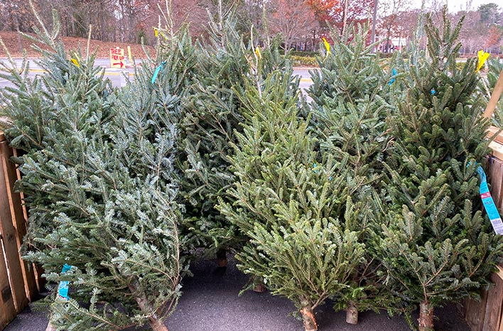 Live cut Christmas trees