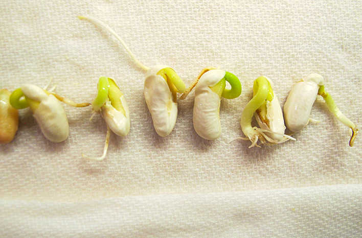 Sprouted bean seeds demonstrate a seed germination test.