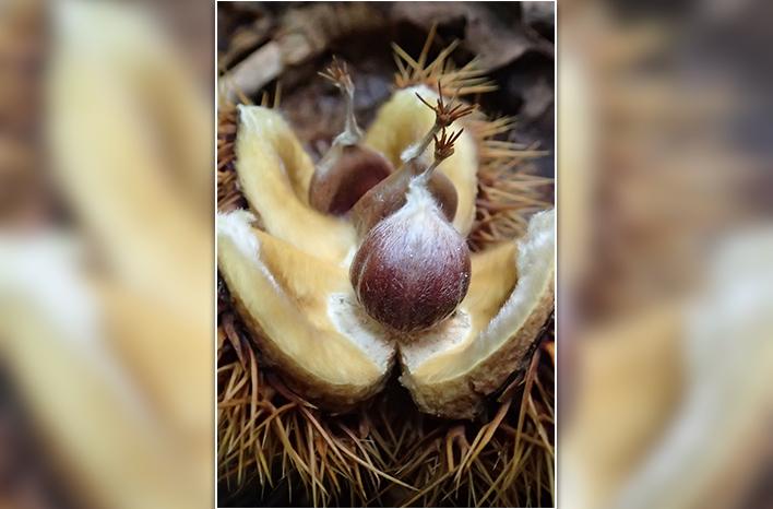 Opened chestnut bur