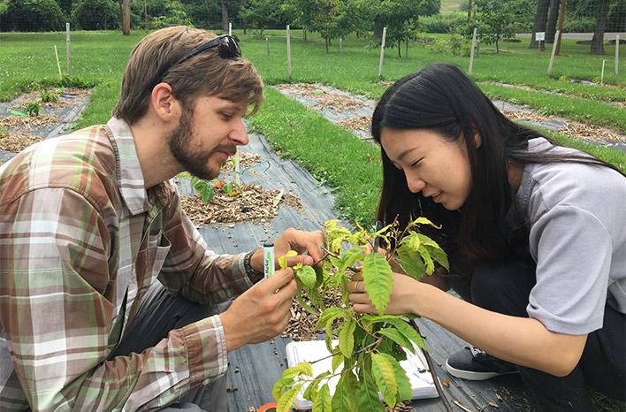 Volunteers Inoculating small Chestnut trees