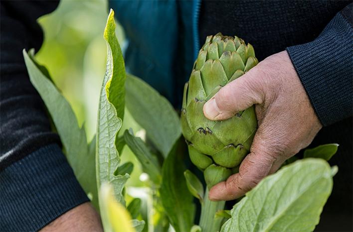 Harvesting an artichoke