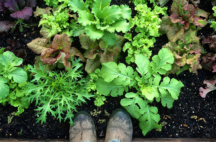Lettuce in dark fertile soil