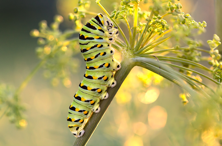 Black swallowtail caterpillar on dill