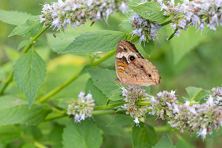 Buckeye butterfly on flowering herbs