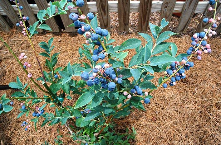 Blueberry bushed