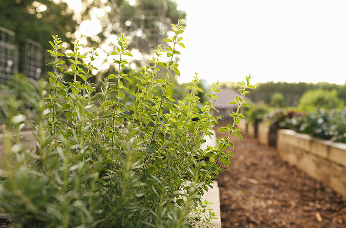 Herbs in raised beds