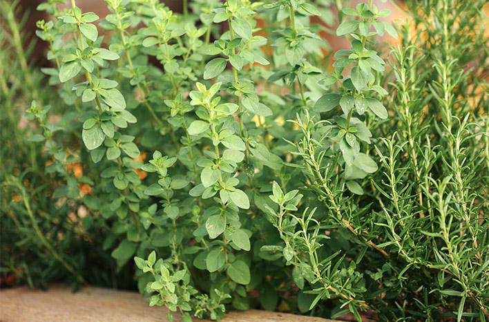 Oregano and Rosemary are two herbs to grow for beginners.