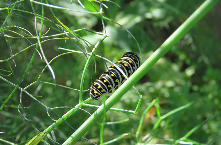 swallowtail caterpillar on fennel