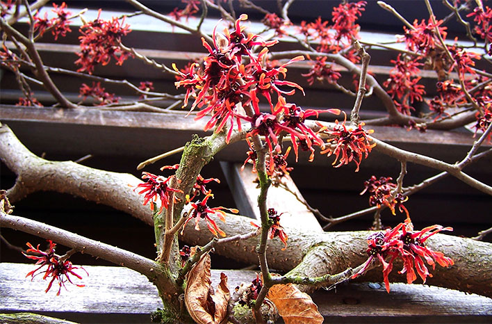 Blooming witch hazel
