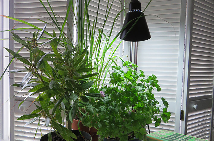 A lamp with a grow bulb or a grow light helps when growing herbs indoors.
