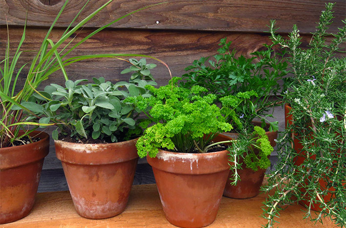 Terra cotta pots with herb mix