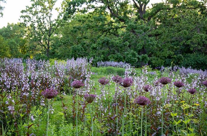 Alliums blooming alongside Pocahontas and Zizia aurea