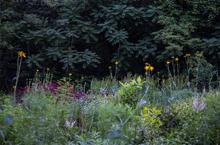 giant coneflower in bloom