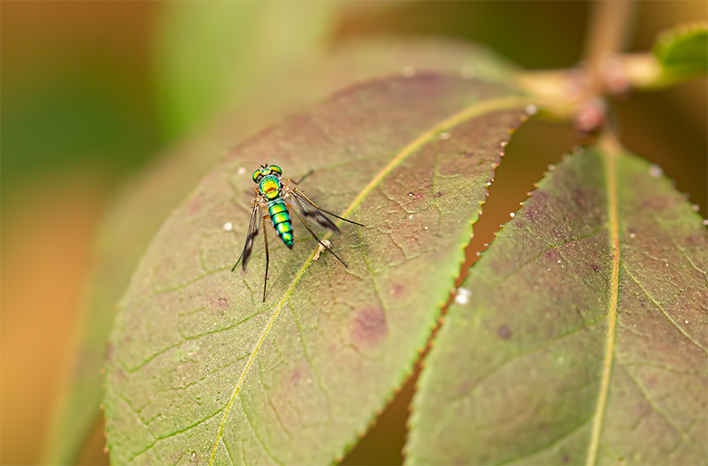 Green metallic the long-legged fly