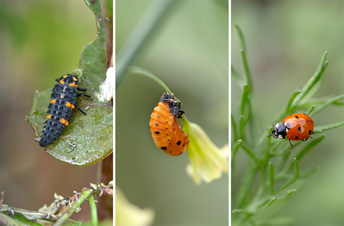 Lady beetle life stages
