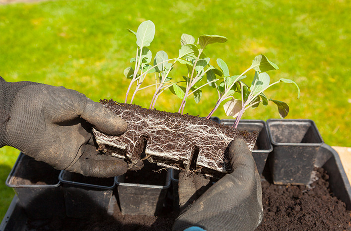 Seedlings that were started indoors can be planted outdoors after the last possible hard frost or as soon as the soil can be worked.