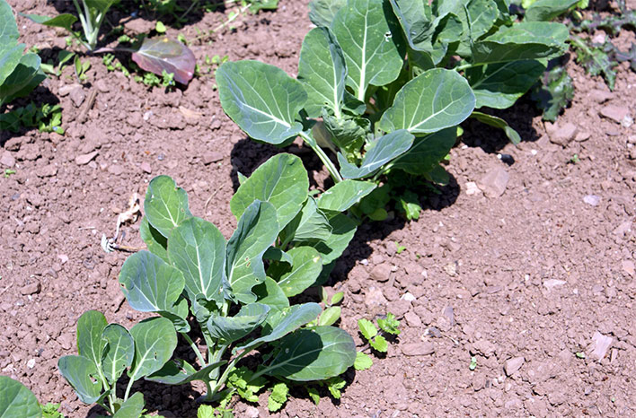 Fertilizer is helpful for developing Brussels sprouts plants but applications should be ceased before the plants reach maturity and begin to produce sprouts.