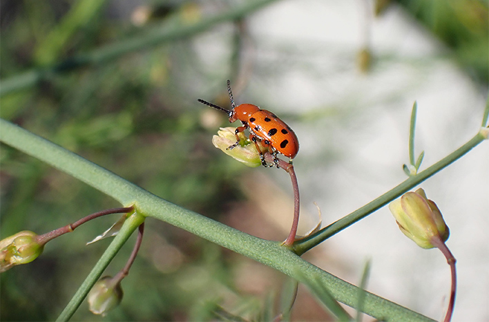 Spotted Asparagus Beetle is an example of garden pests