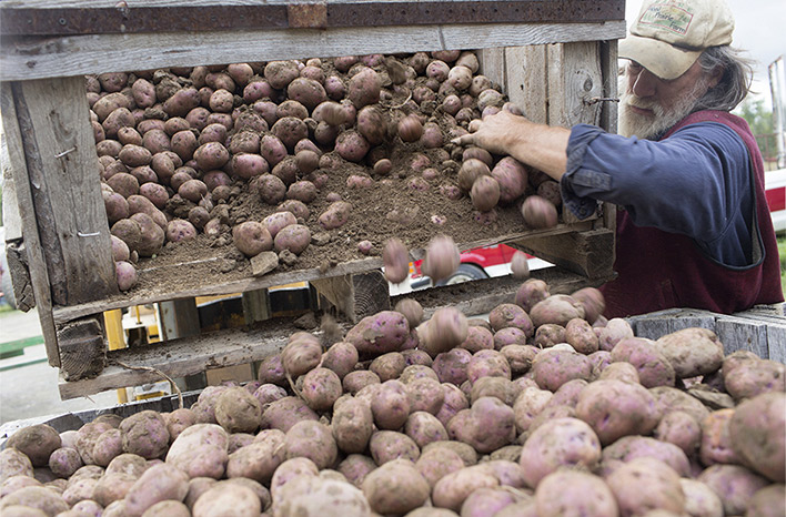 Collecting potatoes
