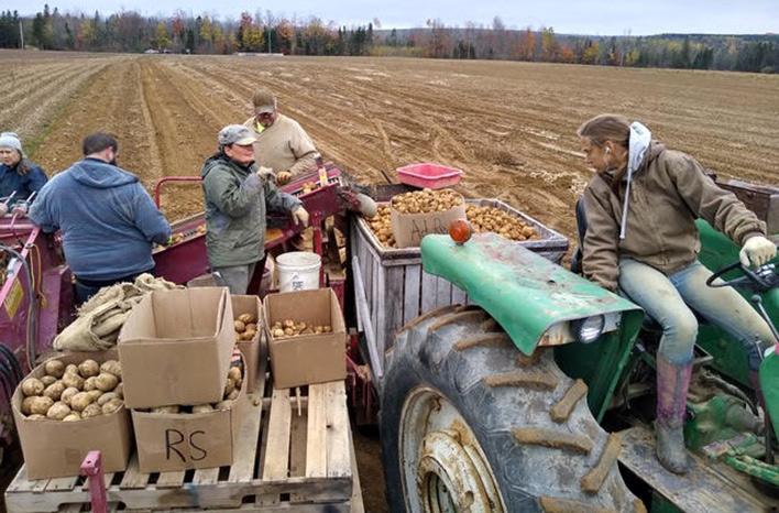 packing up potatoes