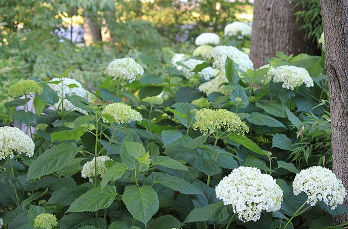 white hydrangea blooms