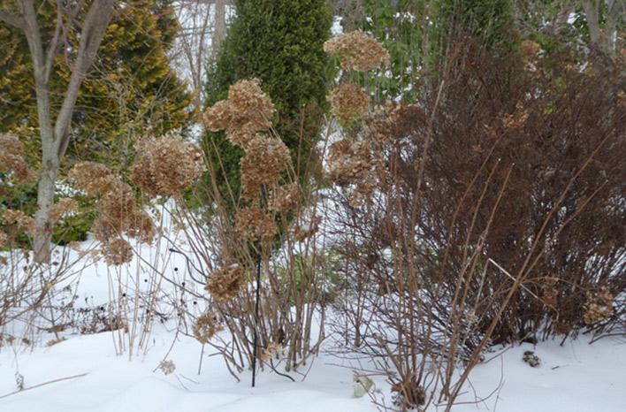 Hydrangeas in winter snow