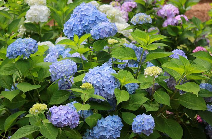 Blue hydrangea blooms