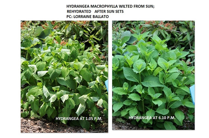 Comparison of dehydrated and hydrated hydrangea