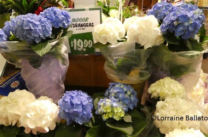 Gift hydrangeas