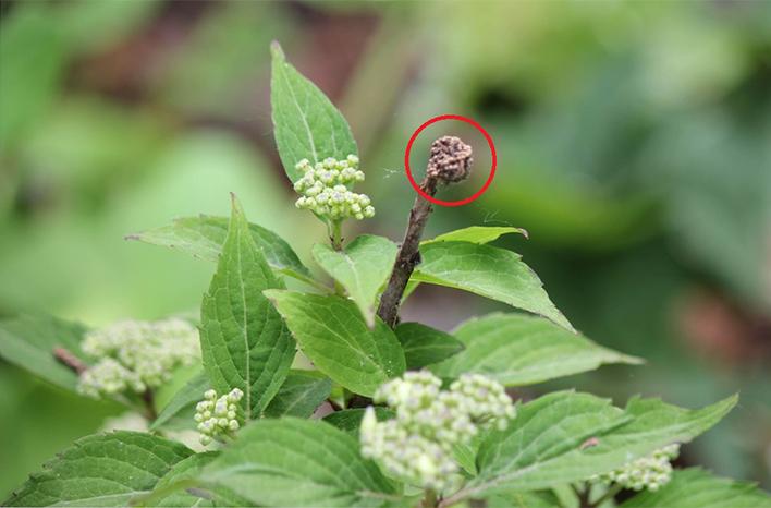 Dead hydrangea tip with emerging bud