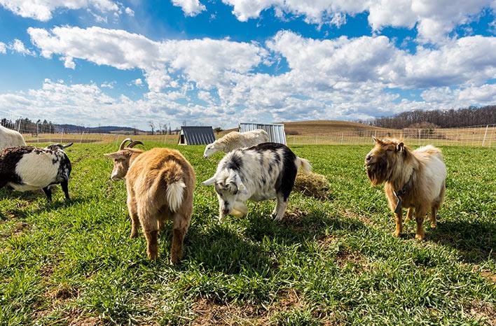 Pastured livestock