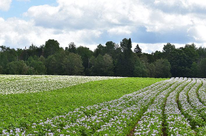 Wood Prairie Family Farm potato plants in blossom.