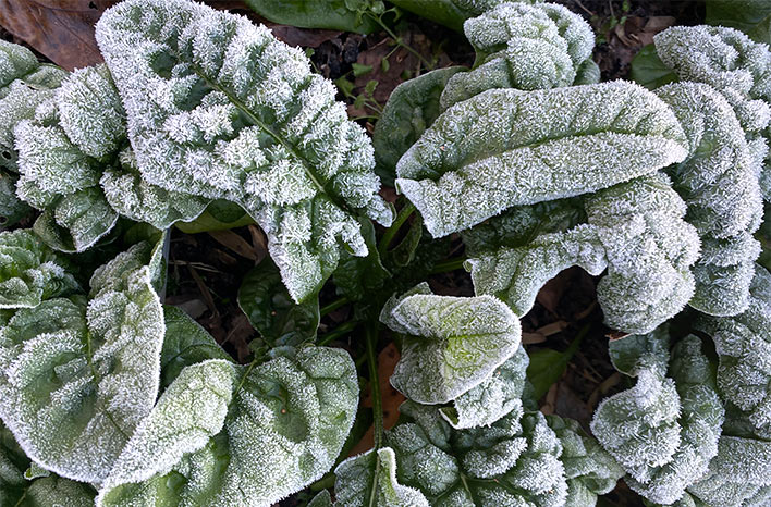 Spinach covered in frost