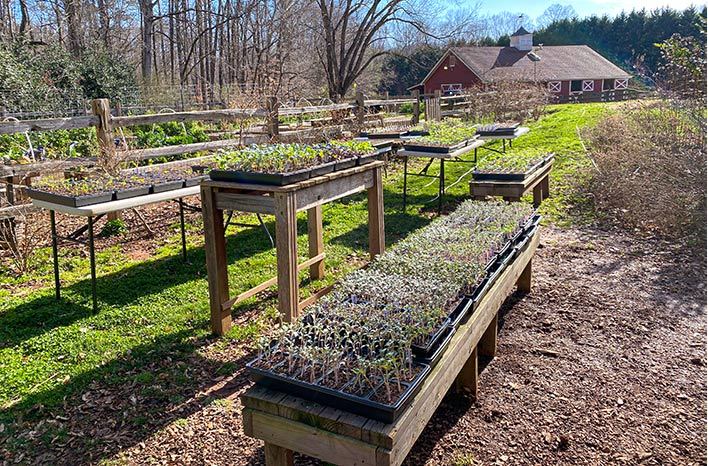 Seedlings in trays out in the sunshine. Plants have greater success in spring when introduced to the outdoors gradually.