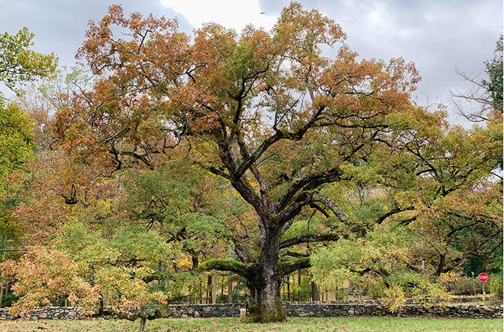 The Bedford oak, a white oak in Bedford, New York, that has stood since 1500 or so.