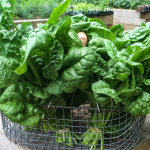 How Do I Grow Spinach?