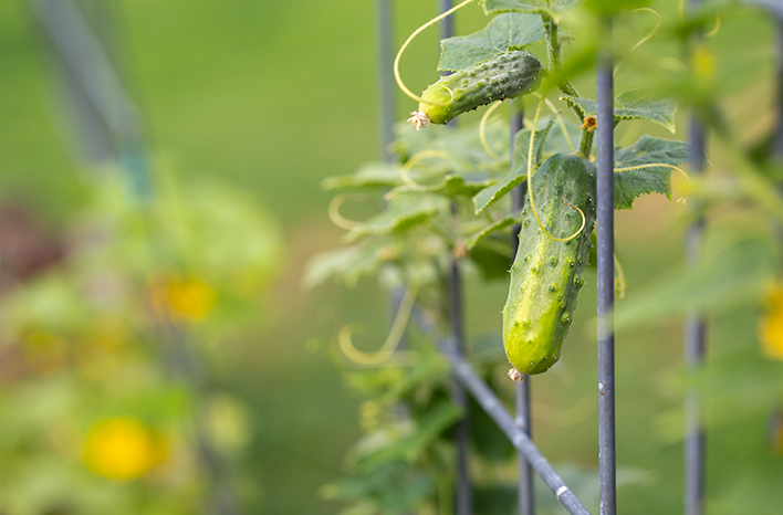 Cucumber with tendrils