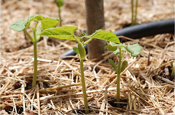 seedlings in straw mulch