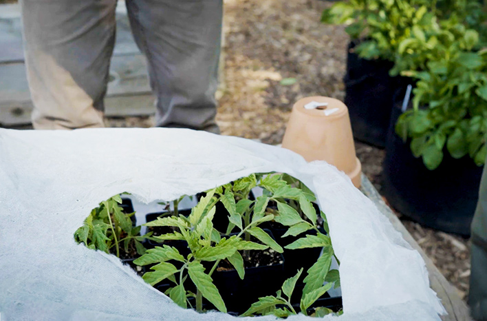 Tomato seedlings under row cover