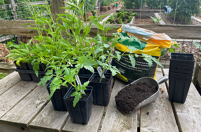 small plastic pots with cuttings