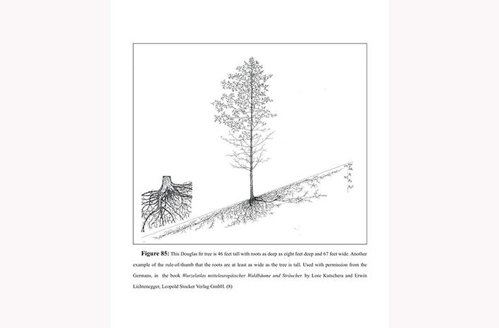 Douglas Fir roots