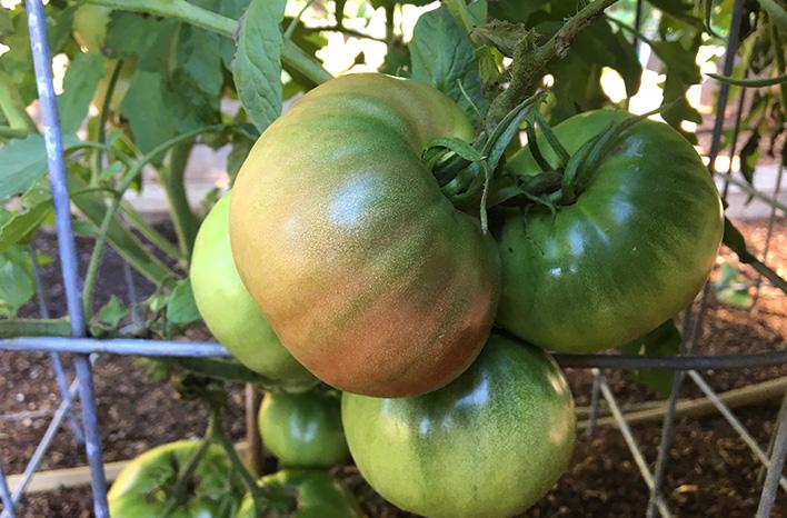 tomatoes ripening