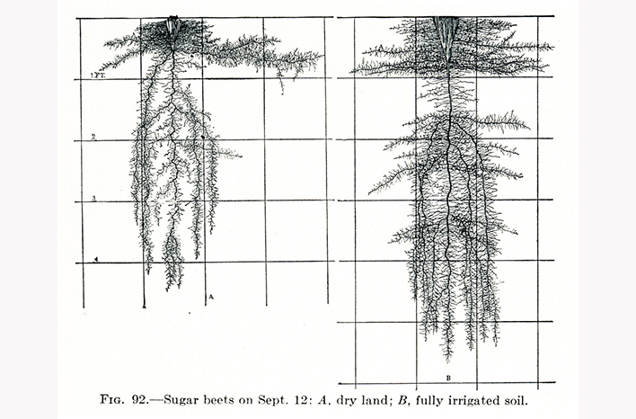 John Weaver's drawings of sugar beet roots