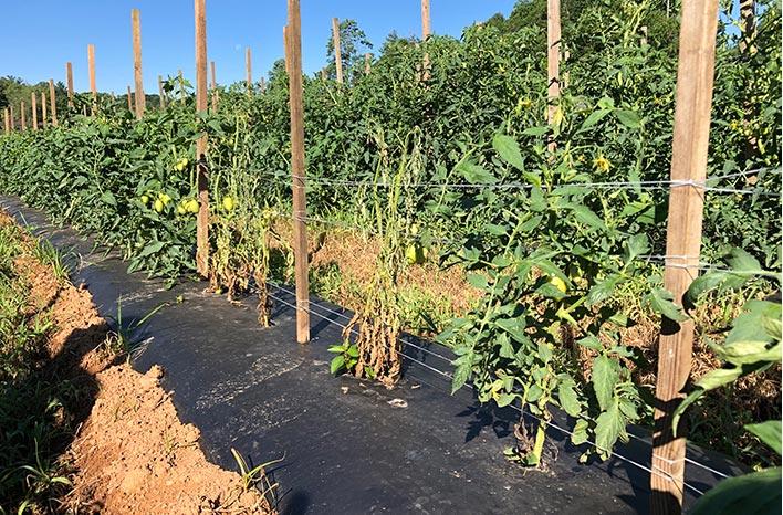 Southern blight on tomato plants