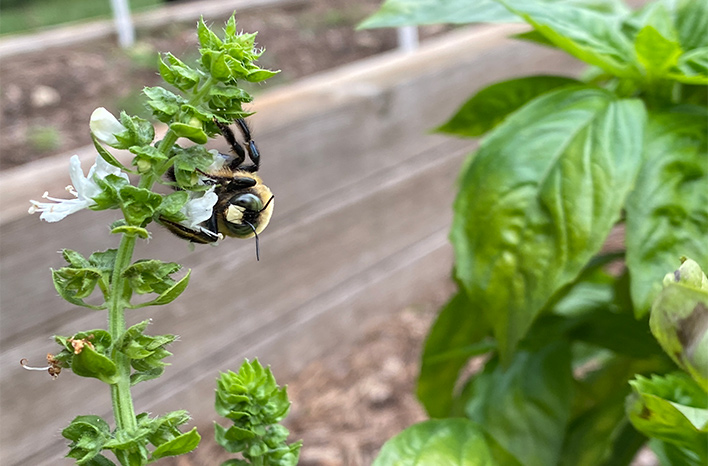 bumble bee on basil flower