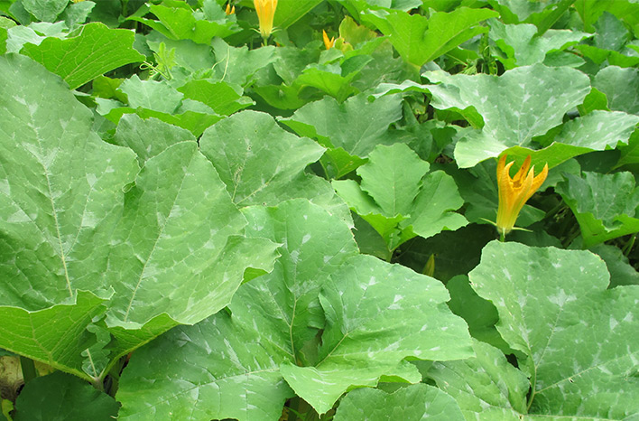 Squash leaves affected by a fungal disease