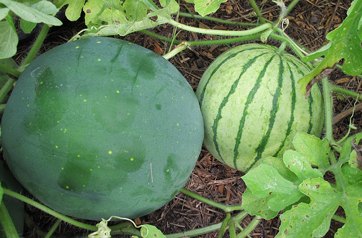 growing melons
