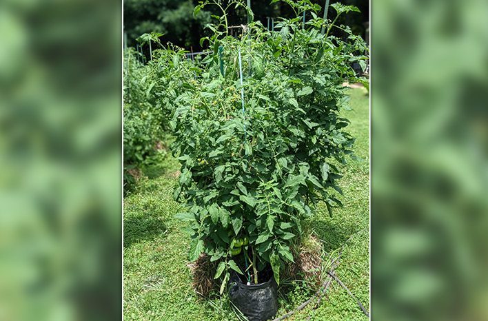 tomato plants in straw bales and grow bags